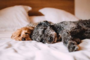 slapen honden