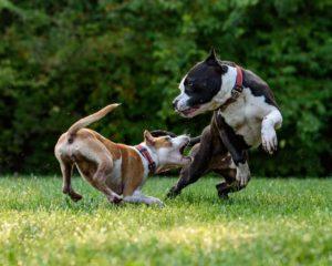 spelen hond